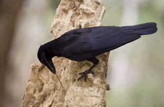 New Caledonian crow.JPG